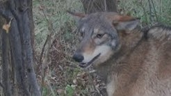 Coyote and fox trapping for beginners