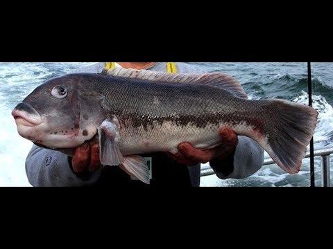 BIG Tautog  (BlackFish) Buzzards Bay Fall 2017