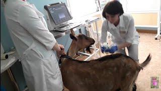 Как делают УЗИ козе на беременность!!!