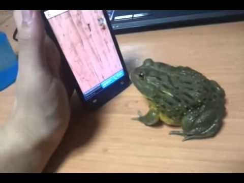 Real life Frog plays Ant Smasher app on iPhone