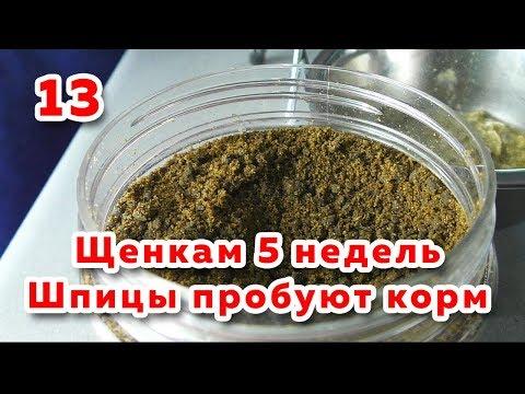 🐾 Щенкам 5 недель.  Первая прикормка собаки. Шпиц пробует сухой корм. Вычесывание шпица.