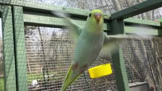 Baby Budgies/Parakeets Flying In Slo Motion(Волнистых попугаев)