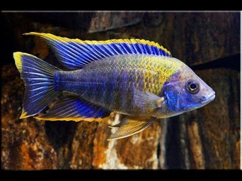 Livefishdirect Fish Lottery: Buying Juvenile Peacock Cichlids
