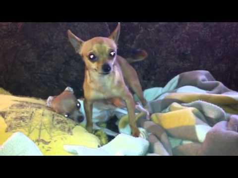 Chihuahua mating