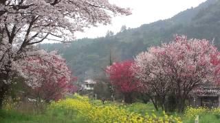 20170409 普通列車 ~ 春の三重奏/宝珠山駅そば その2