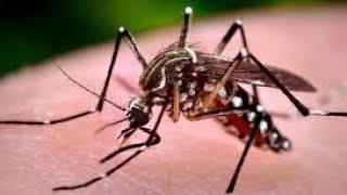 Dengue virus cycle  _  labdiagnosis_ symptoms ,treatemrnt_ papaya leaf_prevention in tamil
