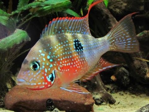 Caracter sticas de los peces c clidos tvagro por juan for Modelos de estanques para peces