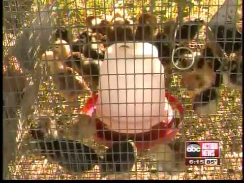 Tampa City Council to address 'urban chickens'