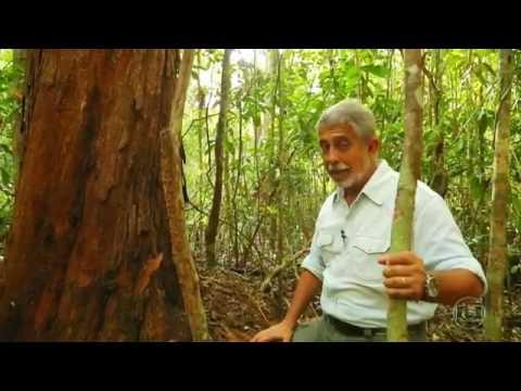 Globo Repórter   Primeira árvore do pau brasil continua cres