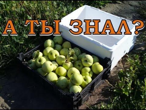 Как сохранить свежими яблоки