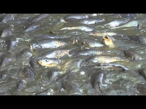 Where The Ducks Walk On The Fish, Linesville, Pennsylvania