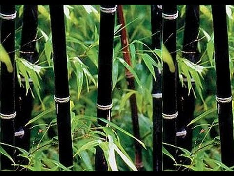 How To Grow Bamboo Seeds Part 2 Growing From Seed