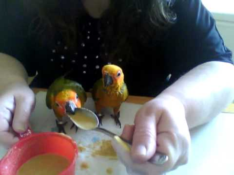 Hand feeding Sun Conure Parrots with a spoon and not a syringe.