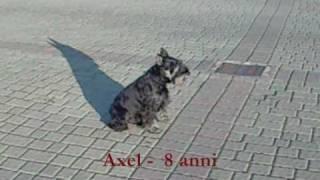 Axel, Schnauzer Nano Nero Argento, 8 Anni