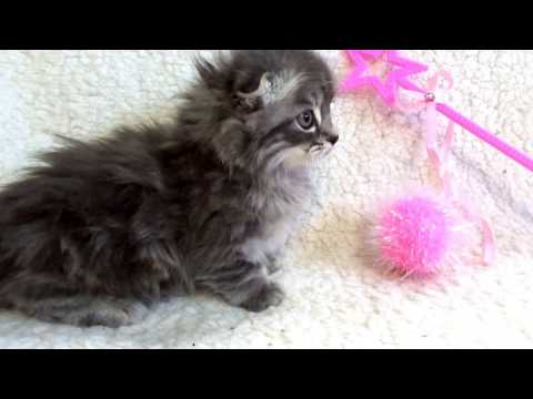 Scottish Kilt Kitten (Scottish Fold Munchkin)