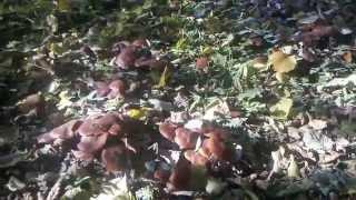 Pilze in unserem Garten - Hallimasch in Massen