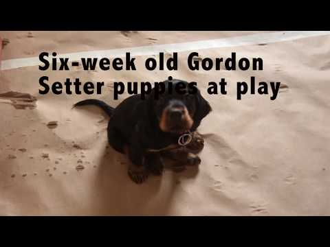 Gordon Setter puppies: Six-Weeks old