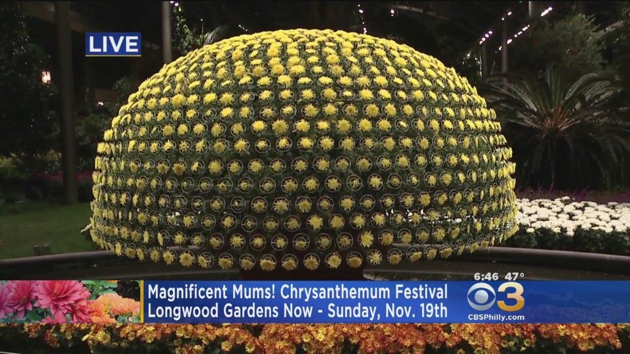 Chrysanthemum Festival Kicks Off At Longwood Gardens - YouTube