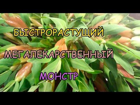 ГИГРОРИЗА ОСТИСТАЯ. ОСНОВЫ СОДЕРЖАНИЯ. Hygroryza aristata