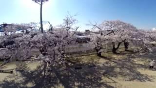 内野小学校の桜【空撮】2014年4月13日