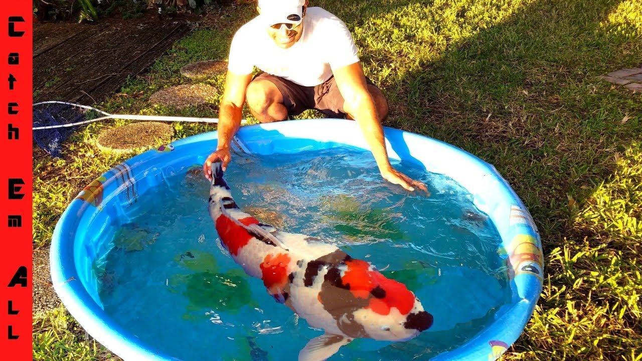Mega fish emergency in mini pool pond youtube for Koi pond next to pool