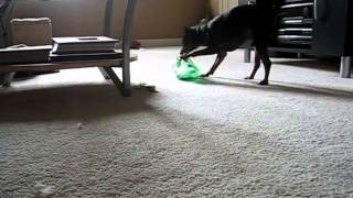Maddox Miniature Pinscher Lost In Okc Playing With A Mountain Dew Bottle (edited)