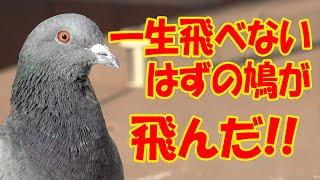 一生飛べないはずの鳩が飛んだ!【sana (10歳・小学5年生)】
