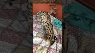 Serval Simba. Утренняя разминка в питомнике Сервалов и бенгальских кошек AmatyCay