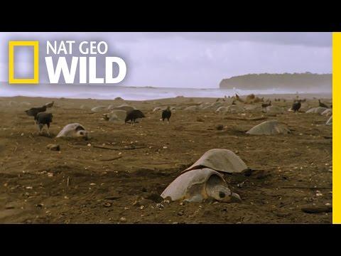 Sea Turtle Nesting Grounds   Wild Costa Rica