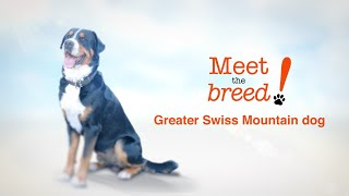 Meet The breed: Greater Swiss Mountain Dog