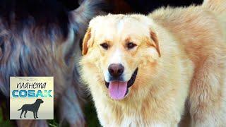Греческие овчарки. Планета собак 🌏 Моя Планета