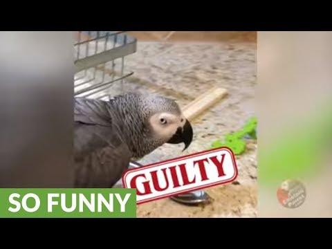Einstein the Talking Parrot is a spoon thief!