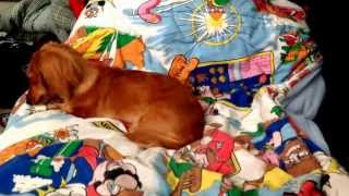 Mini Red/cream Longhaired Dachshund Plays With Her Rawhide, Barks, Yawns, Scratches Back