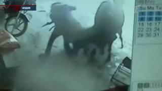 Корова предотвратила убийство