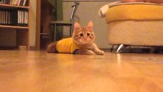 Рыжий кот Бозон - Примеряет форму Сельмаша