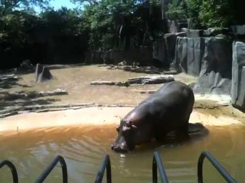 hippo flinging poop youtube