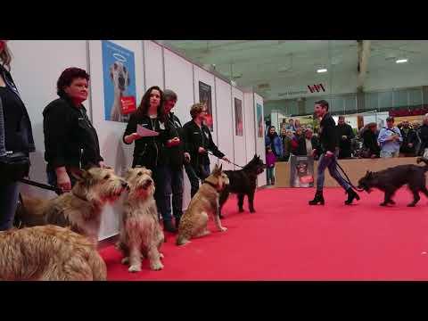 Rassepräsentation Picard - Hund 2018 (Picardclub Schweiz)