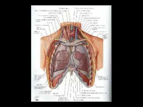 Anatomía del pulmón - YouTube