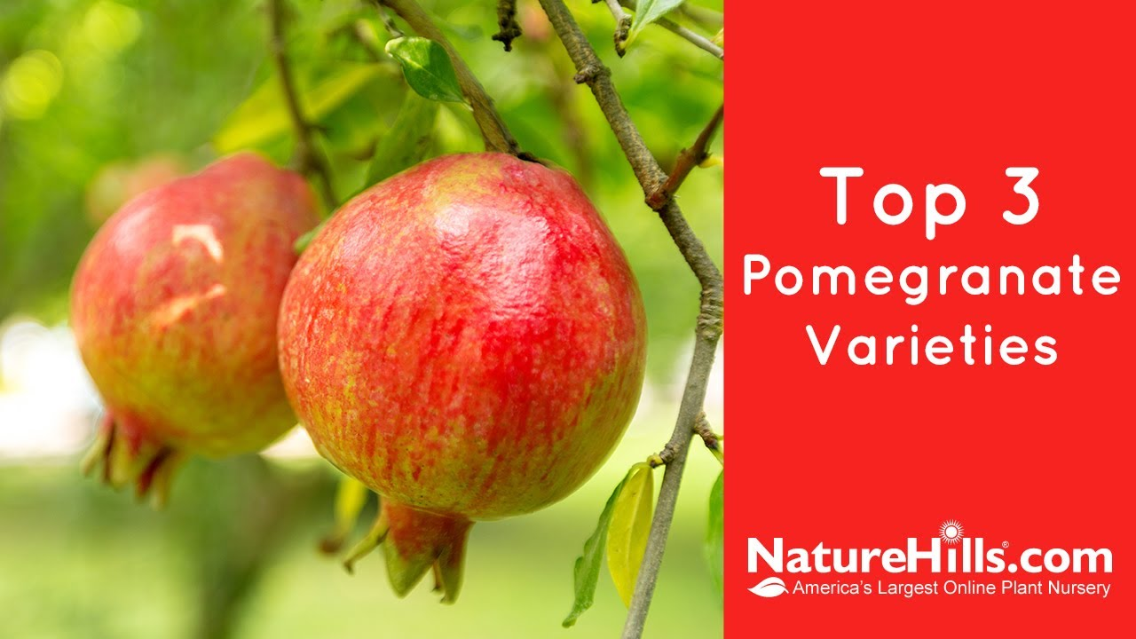 Top 3 Pomegranate Varieties