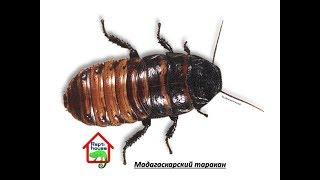 Мадагаскарские тараканы содержание