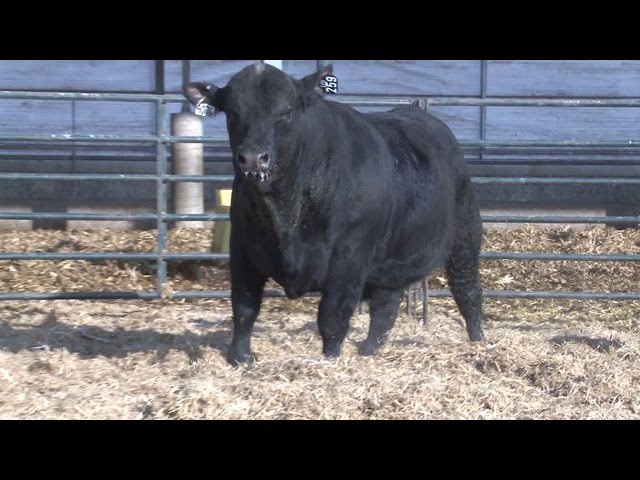 Schiefelbein Angus Farms Lot 259