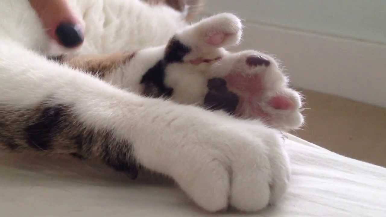 11 things you didn't know about polydactyl cats | MNN