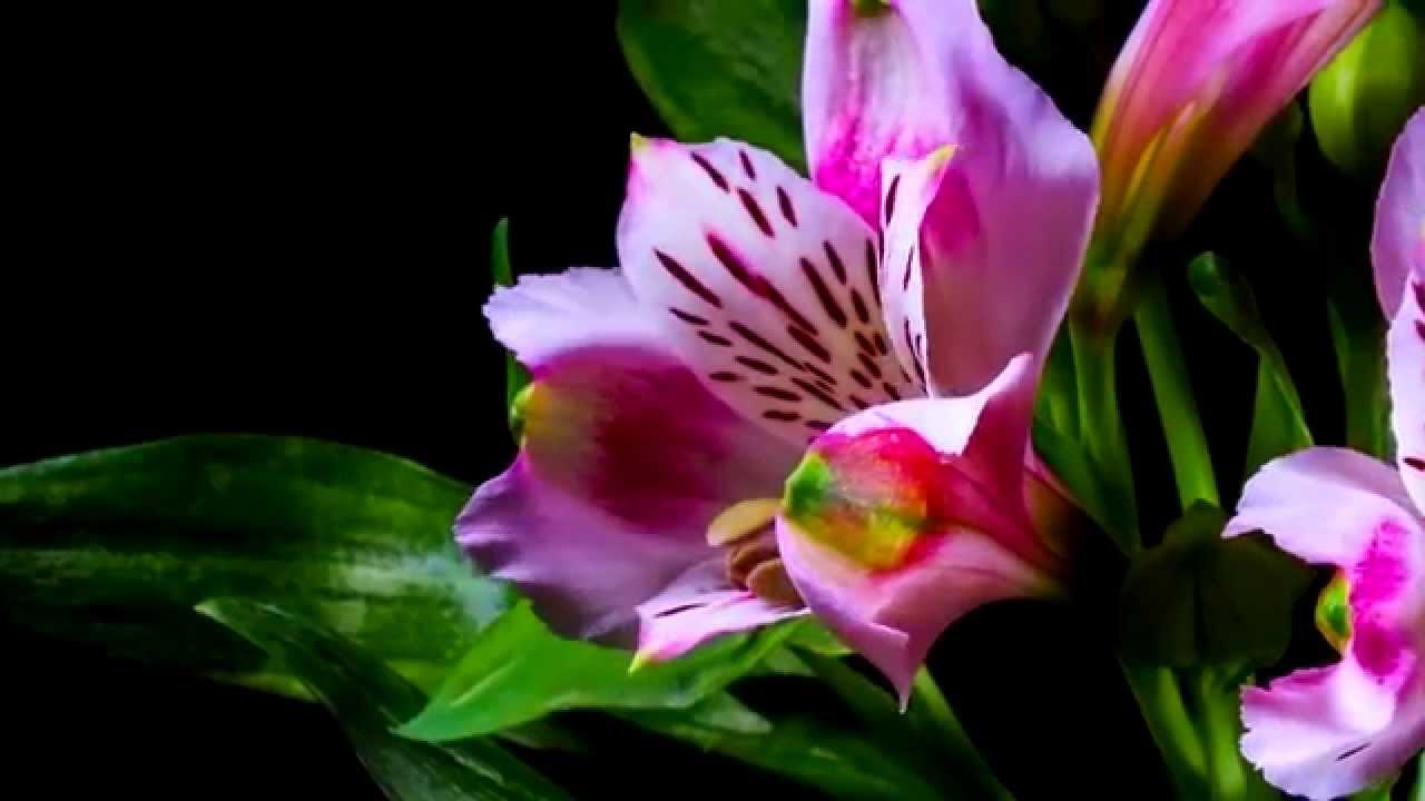 Lo sbocciare dei fiori bellissimo youtube - Immagini di fiori tedeschi ...