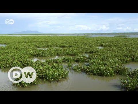 Turning menacing hyacinth into manure |  DW English
