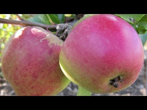 How to plant a fruit tree essential steps youtube - Fruit trees every type weather area ...