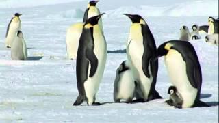 南極國王企鵝 flv