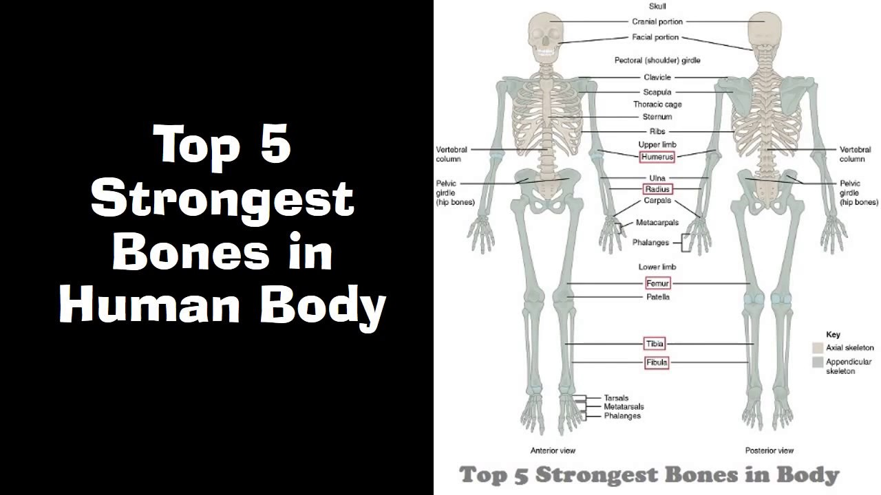 Top 5 Strongest Bones In Human Body Youtube