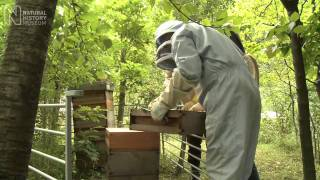 Honey collecting in Natural History Museum Wildlife Garden | Natural History Museum