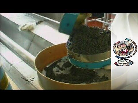 Caviar Mafia Go Unchallenged in Kazakhstan