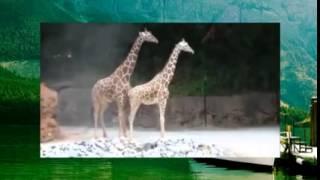 Похотливые животные, жирафы, видео с животными